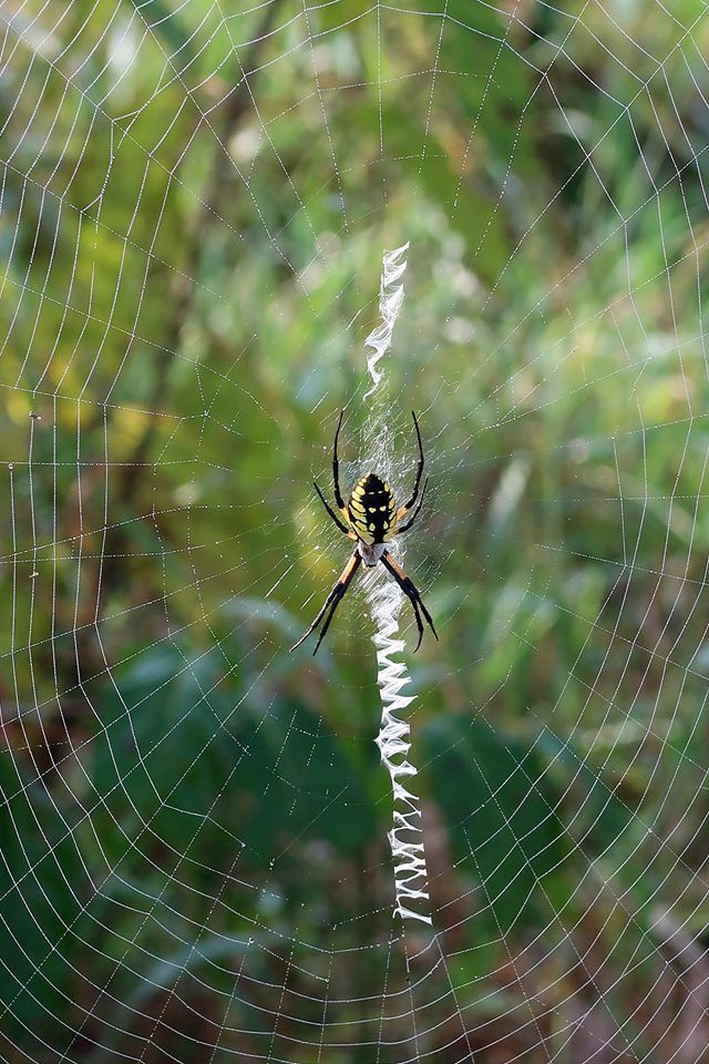 344965_Lidinsky 9-26-18_Yellow Garden Spider - Anne Brown.jpg