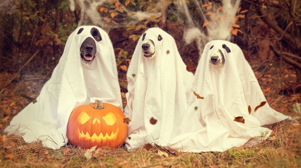 Three dogs dressed as ghosts with a jack-o-lantern.